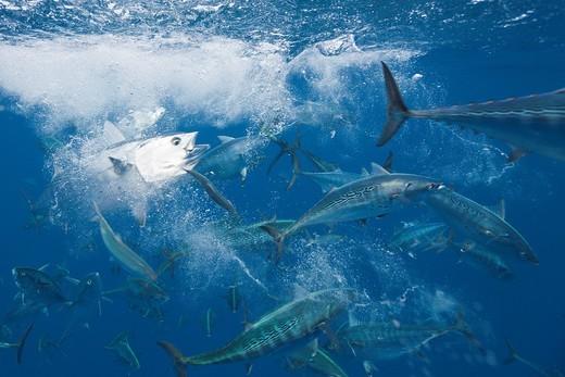 Stock Photo: 1566-621425 Bonitos hunting Sardines, Sarda sarda, Sardina pilchardus, Isla Mujeres, Yucatan Peninsula, Caribbean Sea, Mexico