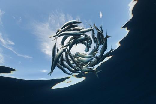 Stock Photo: 1566-621427 Shoaling Sardines, Sardina pilchardus, Isla Mujeres, Yucatan Peninsula, Caribbean Sea, Mexico