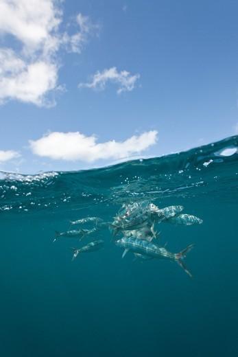 Hurted Sardines, Sardina pilchardus, Isla Mujeres, Yucatan Peninsula, Caribbean Sea, Mexico : Stock Photo