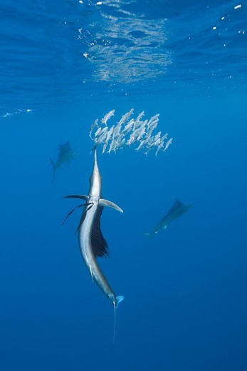 Atlantic Sailfish hunts Sardines, Istiophorus albicans, Isla Mujeres, Yucatan Peninsula, Caribbean Sea, Mexico : Stock Photo