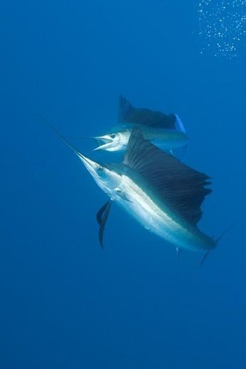 Stock Photo: 1566-621435 Atlantic Sailfish, Istiophorus albicans, Isla Mujeres, Yucatan Peninsula, Caribbean Sea, Mexico