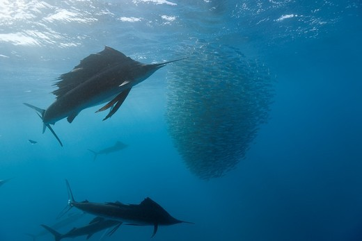 Atlantic Sailfish hunting Sardines, Istiophorus albicans, Isla Mujeres, Yucatan Peninsula, Caribbean Sea, Mexico : Stock Photo