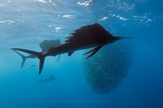 Atlantic Sailfish hunting Sardines, Istiophorus albicans, Isla Mujeres, Yucatan Peninsula, Caribbean Sea, Mexico : Stock Photo