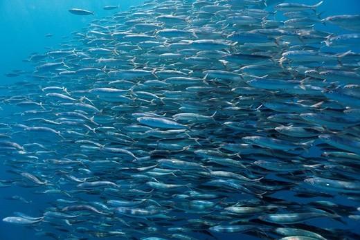 Schooling Sardines, Sardina pilchardus, Isla Mujeres, Yucatan Peninsula, Caribbean Sea, Mexico : Stock Photo
