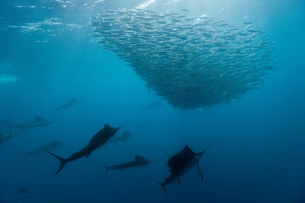 Stock Photo: 1566-621441 Atlantic Sailfish hunting Sardines, Istiophorus albicans, Isla Mujeres, Yucatan Peninsula, Caribbean Sea, Mexico