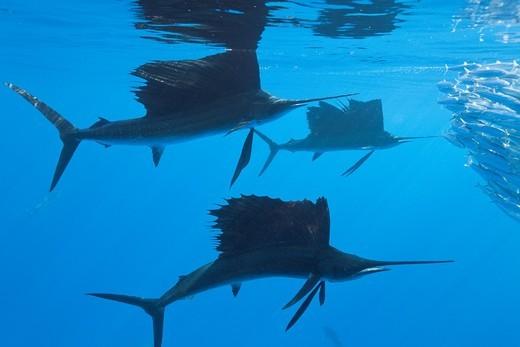 Sailfish hunts Sardines, Istiophorus albicans, Isla Mujeres, Yucatan Peninsula, Caribbean Sea, Mexico : Stock Photo