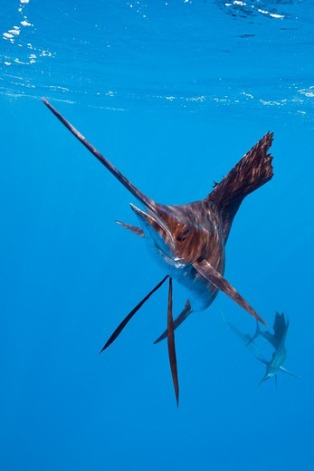 Stock Photo: 1566-621445 Atlantic Sailfish, Istiophorus albicans, Isla Mujeres, Yucatan Peninsula, Caribbean Sea, Mexico