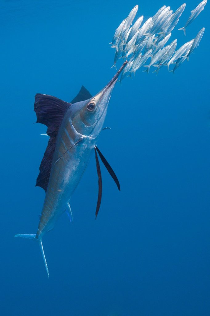 Stock Photo: 1566-621446 Atlantic Sailfish hunts Sardines, Istiophorus albicans, Isla Mujeres, Yucatan Peninsula, Caribbean Sea, Mexico