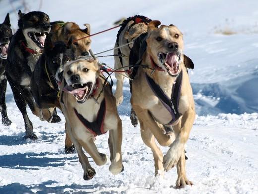 dog sleigh race in The Pirenees Pirena 2011 : Stock Photo