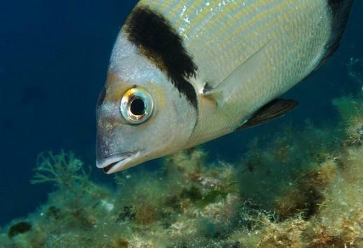 Sea Bream (Diplodus vulgaris) : Stock Photo