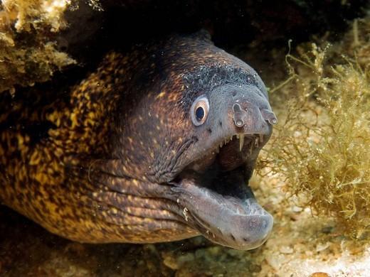 Mediterranean Moray (Muraena helena) : Stock Photo
