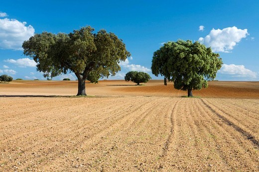 Stock Photo: 1566-623069 Agricultural land, dotted with oaks  Agricultural landscape in Carrascal de Barregas  Salamanca  Castille and Leon  Spain