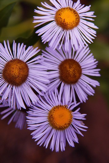 Stock Photo: 1566-624026 A closeup of subalpine daisy at Zion National Park