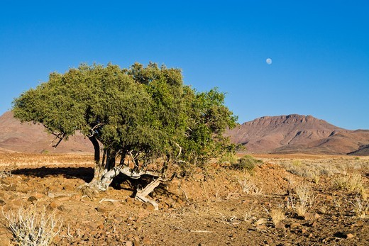 A tree in Damaraland with the full moon over the mountains : Stock Photo