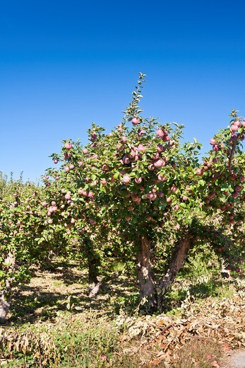 Apple tree in the Okanagan Valley, British Columbia, Canada : Stock Photo