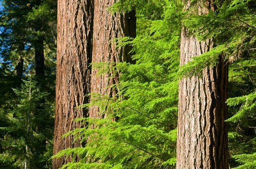 OR18391 Douglas fir trunks, Mt Hood National Forest, OR : Stock Photo