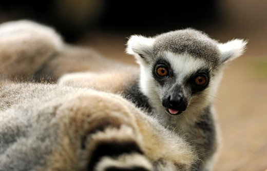 Ringed-tailed Lemur (Lemur catta), Singapore Zoological Gardens, Singapore : Stock Photo