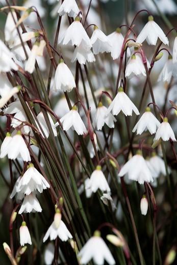 Snowflake flowers, Leucojum Autumnale, Horsham, England : Stock Photo