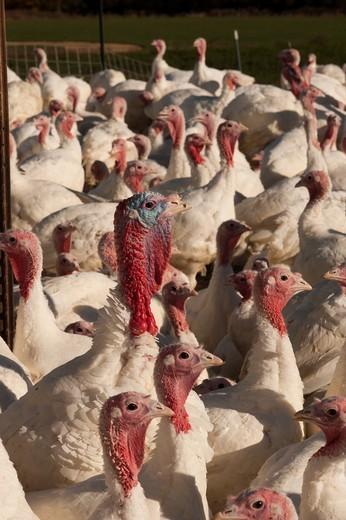 Turkeys : Stock Photo