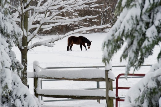 Horse walking through snow covered field on a farm : Stock Photo