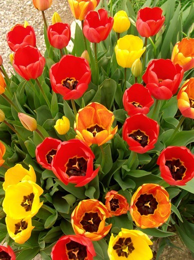 Stock Photo: 1566-629306 Tulips Tulipa hybr