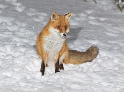 European Fox Vulpes vulpes, sitting in snow covered garden, winter : Stock Photo