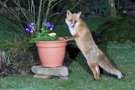 European Fox Vulpes vulpes, in garden, searching for food in plant pot : Stock Photo