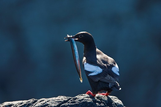 Stock Photo: 1566-632378 Adult pigeon guillemot Cepphus columba in breeding plumage with a sand lance in its beak at Sail Rock in Frederick Sound, Southeast Alaska, USA  Pacific Ocean