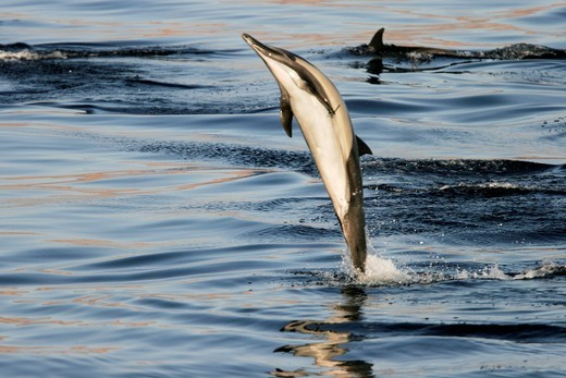 Long-beaked Common Dolphin Delphinus capensis leaping at sunrise in the Gulf of California Sea of Cortez, Mexico : Stock Photo