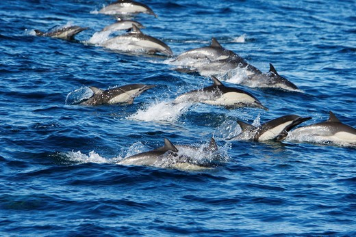 Long-beaked common dolphin Delphinus capensis pod in the calm waters off Isla del Carmen in the Gulf of California Sea of Cortez, Baja California Sur, Mexico : Stock Photo