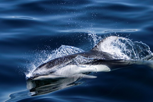 Adult Pacific white-sided dolphin Lagenorhynchus obliquidens surfacing in the calm waters of the inside passage, Southeast Alaska, USA : Stock Photo