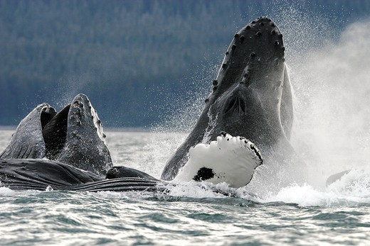 Humpback Whales Megaptera novaeangliae co-operatively bubble-net feeding in Stephen´s Passage, Southeast Alaska, USA  Pacific Ocean : Stock Photo