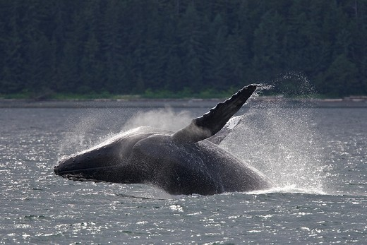 Stock Photo: 1566-632964 Adult humpback whale Megaptera novaeangliae breaching and head-lunging along the eastern shore of Chichagof Island in Southeastern Alaska, USA  Pacific Ocean  This animal may be breaching as part of a display after leaving a bubble-net feeding group with
