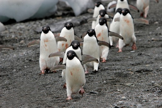 Adelie penguins Pygoscelis adeliae marching down the beach to return to the sea to feed on Devil Island near the Antarctic Peninsula : Stock Photo