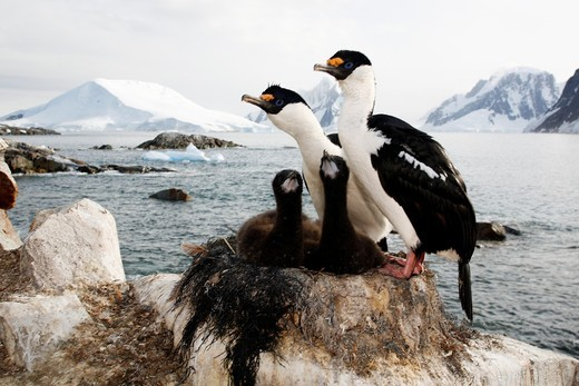Antarctic Shag Phalacrocorax atriceps bransfieldensis parents on the nest with two downy chicks on Petermann Island near the Antarctic Peninsula  This is the only blue-eyed shag species that does not move further north than the Antarctic Peninsula, even i : Stock Photo