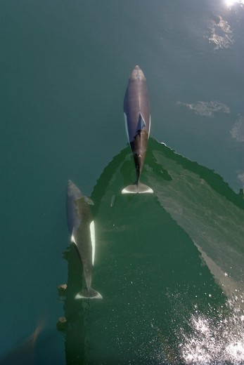 A pair of Dall´s porpoise Phocoenoides dalli bow riding in Chatham Strait off Baranof Island in Southeast Alaska, USA  Pacific Ocean  The water is flat calm and the reflection of the boat and sky are visible in the images : Stock Photo