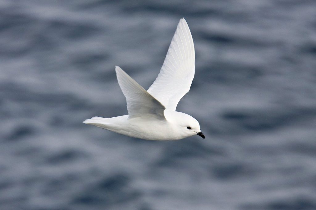 Adult snow petrel Pagodroma nivea on the wing in Crystal Sound below the Antarctic Circle, close to the Antarctic peninsula  This all-white petrel has two forms, the lesser snow petrel Pagodroma nivea nivea and the greater snow petrel Pagodroma nivea conf : Stock Photo