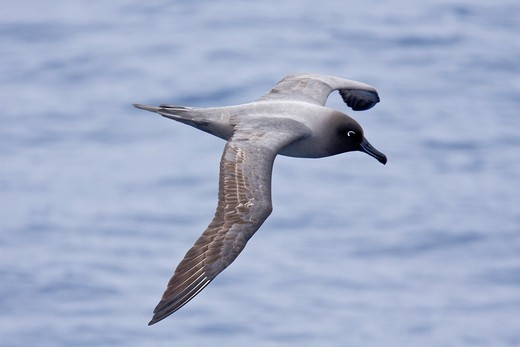 Adult light-mantled sooty albatross Phoebetria palpebrata on the wing in Drake Passage between the tip of South America and the Antarctic peninsula, southern ocean : Stock Photo