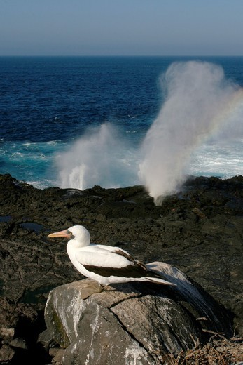 Stock Photo: 1566-633428 Adult Nazca booby Sula grantii near blowhole on nesting site on Espanola Island in the Galapagos Island Group, Ecuador  Pacific Ocean