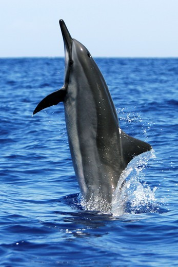 Stock Photo: 1566-633455 Adult Hawaiian Spinner Dolphin Stenella longirostris head-slapping in the AuAu Channel between Maui and Lanai, Hawaii, USA  Pacific Ocean