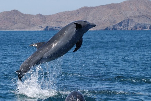 Adult Bottlenose Dolphin Tursiops truncatus gilli leaping in the upper Gulf of California Sea of Cortez, Mexico : Stock Photo