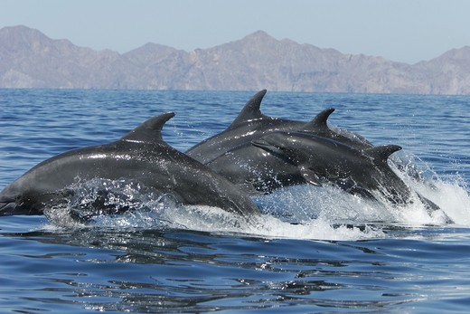 Off shore Bottlenose Dolphin Tursiops truncatus in deep offshore waters of the northern Gulf of California Sea of Cortez, Mexico : Stock Photo