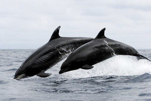 Offshore Bottlenose dolphin pair Tursiops truncatus leaping near Catalina Island in southern California, USA  Pacific Ocean : Stock Photo