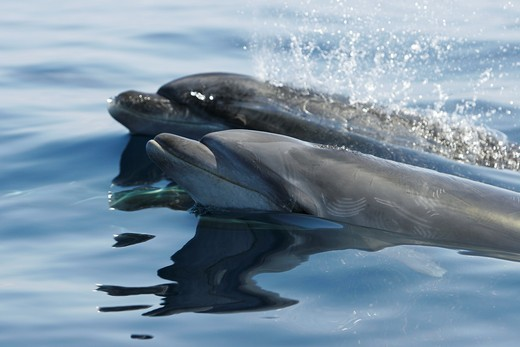 Stock Photo: 1566-633548 Offshore adult Bottlenose dolphin pair Tursiops truncatus surfacing near Catalina Island in southern California, USA  Pacific Ocean