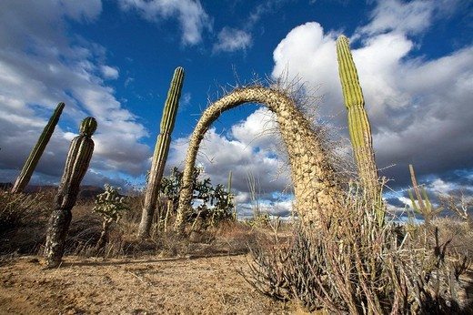 A look at the strange and wonderful shapes of cactus and succulents in the Valle of the Cirrios where cactus are in bloom in the Sonoran Desert of Bahia de los Angeles, Baja California Norte, Mexico : Stock Photo