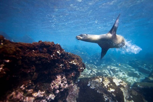 Galapagos sea lion Zalophus wollebaeki underwater in the Galapagos Island Group, Ecuador  Pacific Ocean : Stock Photo