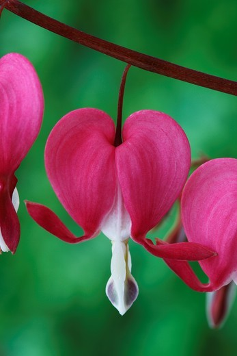 Dicentra spectabilis AGM Bleeding heart, Lyre flower April : Stock Photo