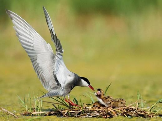 Stock Photo: 1566-634286 Whiskered tern , Chlidonias hybrida , feeding chicks at nest