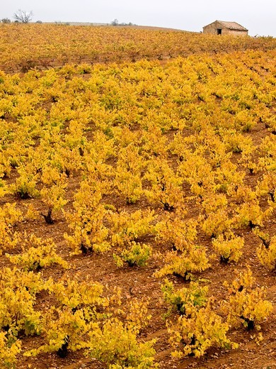 Cariñean vines in autumn - Zaragoza - Aragon - Spain : Stock Photo