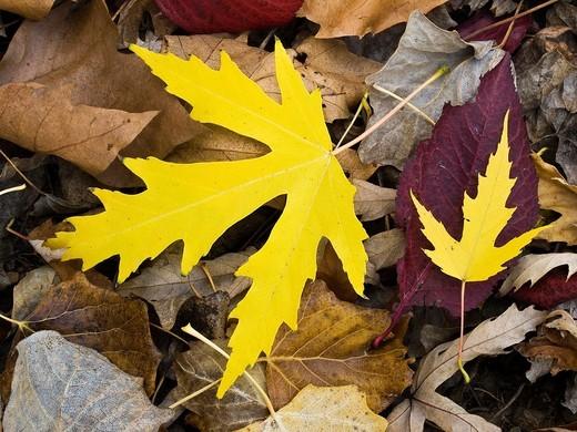 Poplar populus alba leaves in autumn in a park Berceo - La Rioja - Spain : Stock Photo
